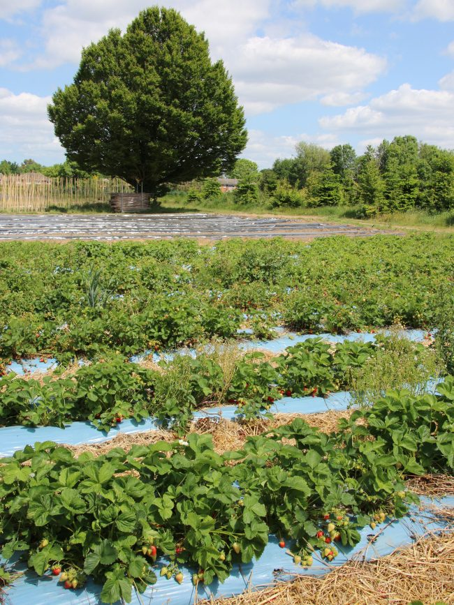 Strawberry Crop at Crockford Bridge Farm
