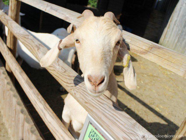 Milking Goat at Bockett Farm Park Surrey
