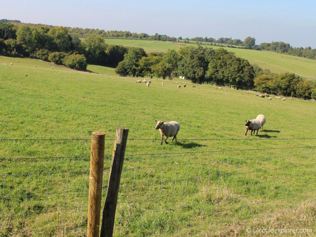 Free range sheep at Bocketts Farm Park Surrey