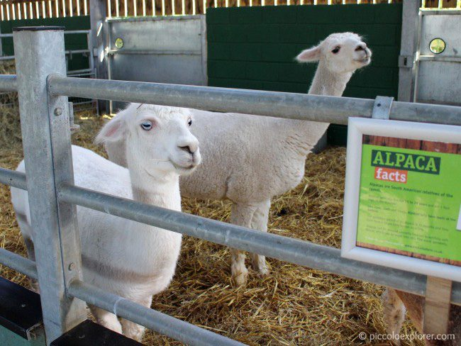 Alpacas at Bocketts Farm Park Surrey