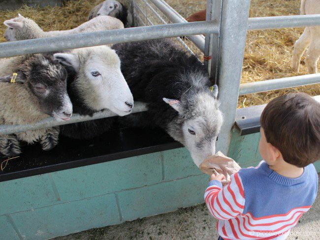Feeding the sheep at Bocketts Farm Park Surrey