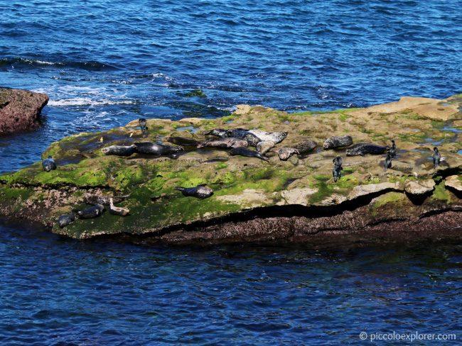 Seals at La Jolla Cove, San Diego