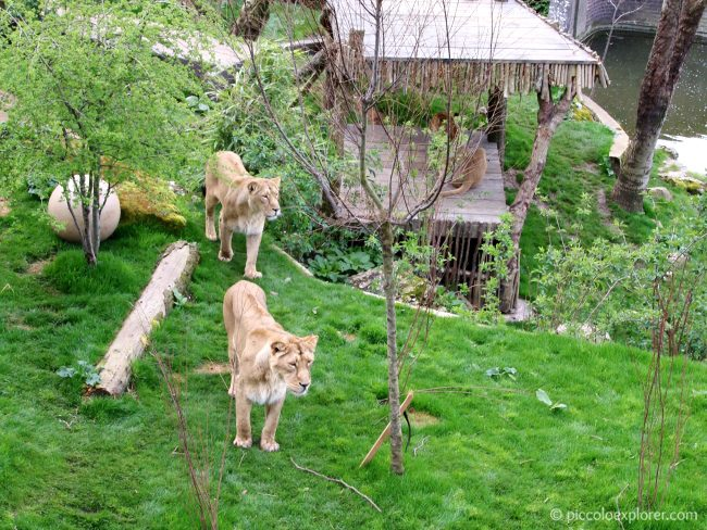 Land of Lions exhibit - ZSL London Zoo