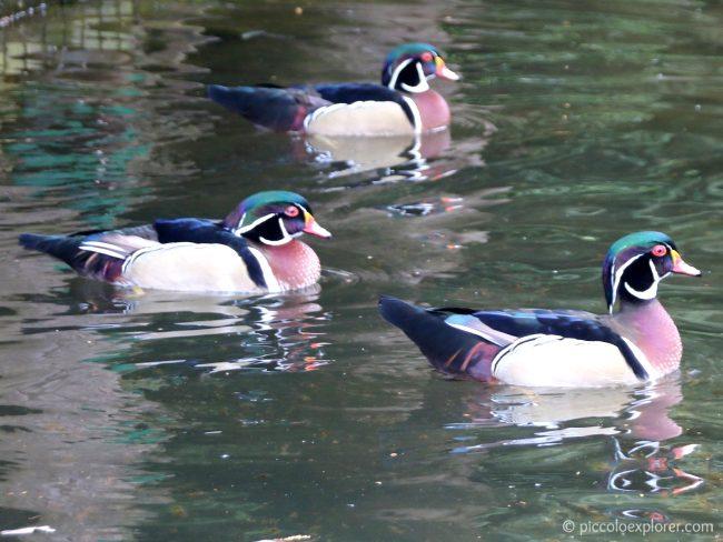 Ducks at Birdworld