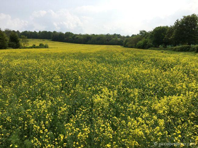 Rapeseed Field Surrey