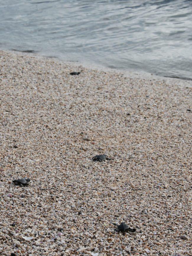Bali Sea Turtle Society - Turtle Release