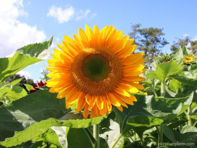 Sunflower, Garsons Farm, Surrey