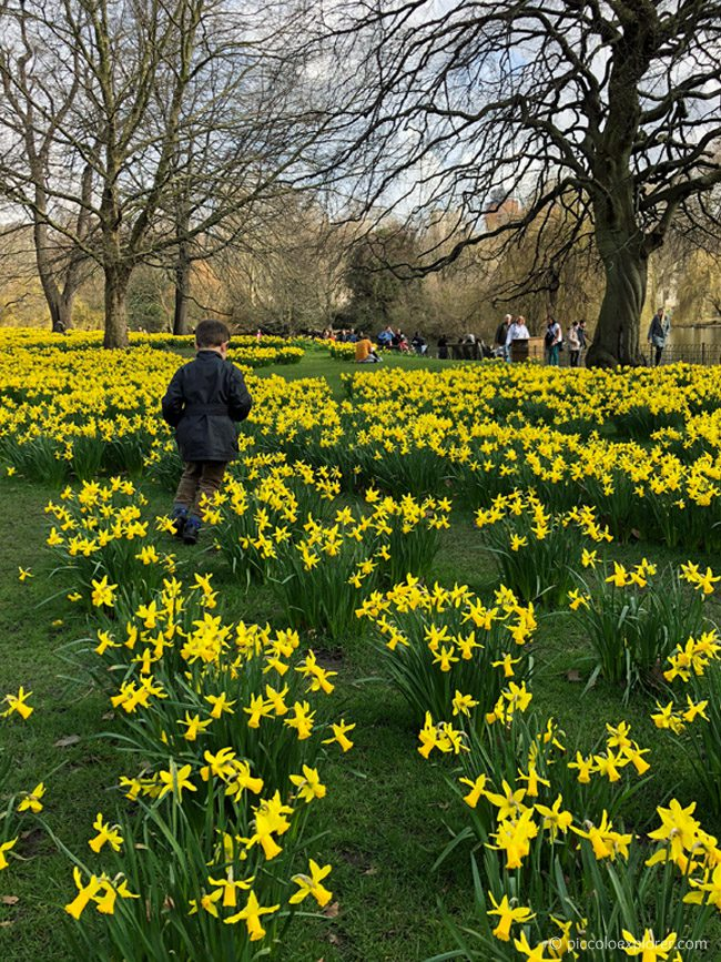 Daffodils at St James's Park, London